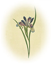 antique iris illustration